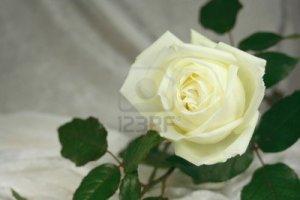 6690092-white-rose-con-area-messaggi-per-matrimoni-o-funerali